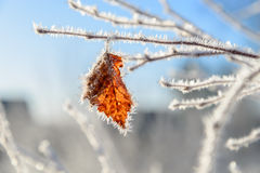 Beautiful white frost on autumn leaves on branch. Rime on plants. Winter background. Dry leaf on a branch in winter in frost Royalty Free Stock Images