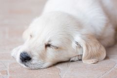Beautiful white fur golden retriever puppy is sleeping on floor Royalty Free Stock Photography