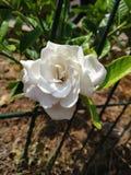 Beautiful white gardenia on branch tree stock photos