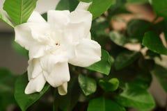 Beautiful white gardenia flower blooming in the garden stock photo
