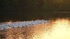 Beautiful white geese floating on the lake at sunset stock footage