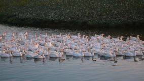 Beautiful white geese floating on the lake at sunset stock video
