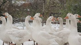 Beautiful white geese standing in the snow. stock video