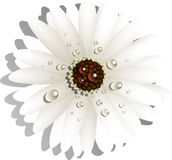 Beautiful White Gerber Daisy Royalty Free Stock Photo