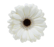 Beautiful white gerbera. Isolated on a white background royalty free stock photography