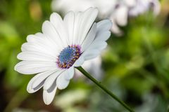 Beautiful white Gerbera flower with blue centre in natural setting.  royalty free stock images