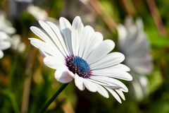 Beautiful white Gerbera flower with blue centre in natural setting.  royalty free stock photo