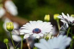 Beautiful white Gerbera flower with blue centre in natural setting.  stock image