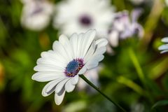 Beautiful white Gerbera flower with blue centre in natural setting.  royalty free stock image