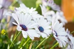 Beautiful white Gerbera flowers with blue centre in natural setting.  stock images