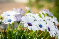 Beautiful white Gerbera flowers with blue centre in natural setting.  stock photos