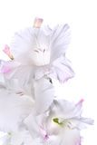 Beautiful White Gladiolus Royalty Free Stock Photo