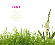 Beautiful White Gladiolus and fresh spring green grass Stock Images