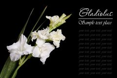 Beautiful white gladiolus isolated on a black Stock Image