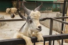 A beautiful white goat with long hair and horns caged in a zoo i stock photo