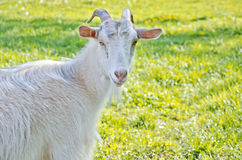 Beautiful white goat. On a sunny meadow Royalty Free Stock Photography