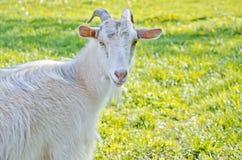 Beautiful white goat Royalty Free Stock Photography