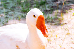 Beautiful white goose closeup, looking into the camera. Stock Photography
