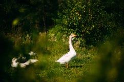 A beautiful white goose grazes on land. Watching the goose from the bush. Close-up. A beautiful white goose grazes on land. Watching the goose from the bush royalty free stock image