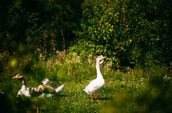 A beautiful white goose grazes on land. Watching the goose from the bush. Close-up. A beautiful white goose grazes on land. Watching the goose from the bush royalty free stock photography