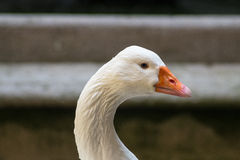 Beautiful White Goose Looking To The Right. Beautiful head of an animal: A white goose with a long neck turning its neck to the right side stock images