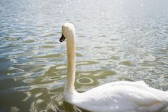 Beautiful white goose swimming in a pool or lake. Elegance stock photo