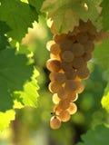 Beautiful white grape. In an italian vineyard royalty free stock photos