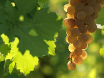 Beautiful white grape. In a sunny italian vineyard Royalty Free Stock Photography