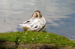 Beautiful white and gray goose preening himself. While standing on grassy knoll near calm pond water Stock Photos