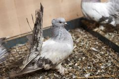 Beautiful white and gray pigeon dove with spread tail walking on old wire cage top. Wild life in cities, animal protection and. Bird diseases concept stock photos