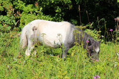 Beautiful white-grey pony eating grass on the lawn with flowers on a Sunny summer day Stock Image