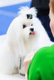 Beautiful white haired Shih Tzu showing tounge. White Shih Tzu. Posing white shih  tzu Stock Photo