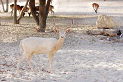 Beautiful white hart Fallow deer Royalty Free Stock Photo