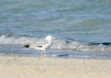 Beautiful white headed seagull near the sea Stock Photo