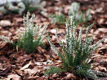 Beautiful white heather in blossom Stock Photos