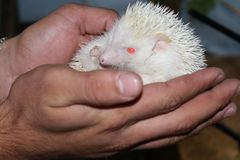 A beautiful white hedgehog Royalty Free Stock Photos