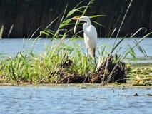 White heron bird in lake, Lithuania Royalty Free Stock Images