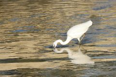A beautiful white heron catching fish Royalty Free Stock Image