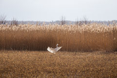 A beautiful white heron flying near the shore of a lake Stock Photos
