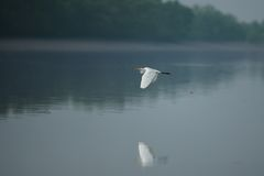 Free Beautiful White Heron In Sundarbans Tiger Reserve In India Royalty Free Stock Photos - 83955368