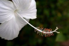 Beautiful white hibiscus Royalty Free Stock Photos