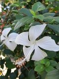 White Hibiscus in a flower garden stock image