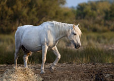 Beautiful white hors stock photos