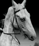 The beautiful white horse Stock Image