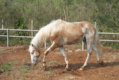 Beautiful white horse. Animal farm Royalty Free Stock Photography