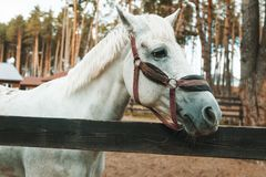 Beautiful white horse in the arena behind a fence in a pine for stock photos