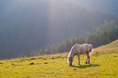 The beautiful white horse on a background Carpathian forest graz Royalty Free Stock Photo