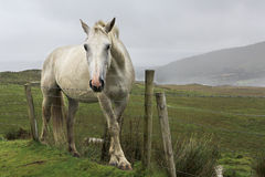 Beautiful white horse on background of mountains Stock Photos