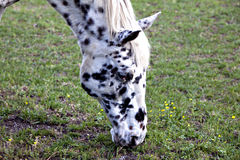 Beautiful white horse with black spots Stock Photo