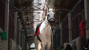 A beautiful white horse in check and with a saddle stands in the middle of the stables. A stallion before riding stock video footage